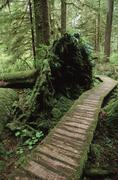 Cedar boardwalk through valley bottom, Carmanah Valley, Vancouver Island, Kuvituskuvat