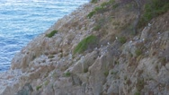 Colony of yellow legged gulls (Larus michahellis) on the cliff Stock Footage