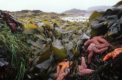 Starfish and kelp at Mackenzie Beach, Tofino, Pacific Rim National Park, Stock Photos