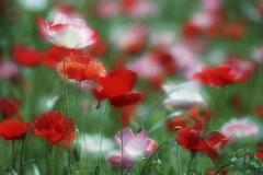 Poppies, British Columbia, Canada. Stock Photos