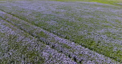 Wild linseed field Stock Footage