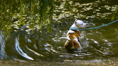 American Staffordshire Terrier walks on the lake in the park Stock Footage