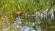 Duck thoroughly clean their feathers in a pond reeds, close-up Stock Footage