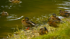Duck family near the shores of the pond, the natural habitat of ducks, close-up Stock Footage