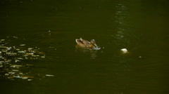 Duck floating on the green pond, natural habitat of ducks, close-up Stock Footage