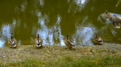 Ducks in turn go into the pond, the natural habitat of ducks, close-up Stock Footage