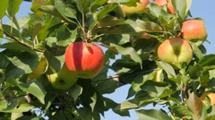 Apples in orchard,Tiel,Netherlands Stock Footage
