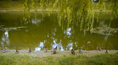 Ducks sitting in a row on the lake (pond), rear view Stock Footage