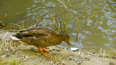 Two ducks walk around on the lake (pond), close-up Stock Footage