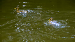 Ducks swim and bathe in the pond, close-up Stock Footage