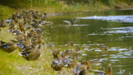 A flock of wild ducks simultaneously clean their feathers on the bank of a pond Stock Footage