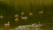 A flock of ducks swimming in a green pond, natural habitat of ducks, close-up Stock Footage