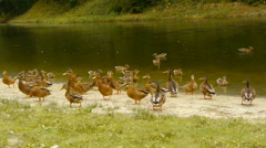 A flock of ducks on the shore green pond waiting to be fed, close-up Stock Footage