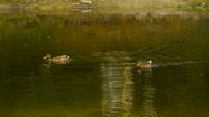 Duck swimming in the pond, waterfowl, close-up Stock Footage