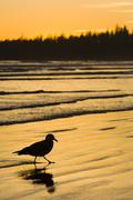 Pacific Rim National Park, Long Beach, sea gull walks shoreline, Vancouver Stock Photos