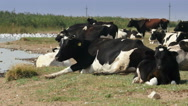 Cows resting in the danube delta Stock Footage