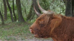 Scottish Highland cattle ruminating in dunes,Dunes,Netherlands Stock Footage