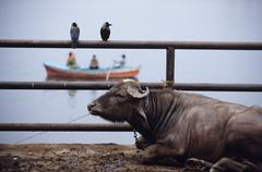 India, Varanasi, Manikarnika Ghat, bull rests by edge of Ganges with two birds Stock Photos