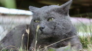 Gray cat Stock Footage