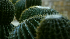 The tops of the spiny cactus, close-up Stock Footage