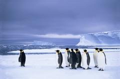 Emperor penguins (Aptenodytes forsteri) wait at the edge of the pack ice in Kuvituskuvat