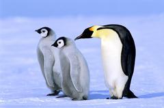 Adult emperor penguin (Aptenodytes forsteri) and chicks, Atka Bay colony, Kuvituskuvat