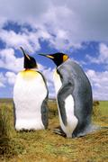 Courting adult king penguins (Aptenodytes patagonicus), Salisbury Plains, South Stock Photos