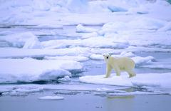 Adult polar bear (Ursus maritimus) hunting on pack ice. Svalbard, Norway. Kuvituskuvat