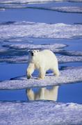 Polar bear (Ursus maritimus) hunting on the pack ice, Svalbard Archipelago, Stock Photos