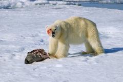 Polar bear (Ursus maritimus) feeding on a juvenile bearded seal (Erignathus Kuvituskuvat