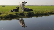 Young cow with reflection in canal,Noord Holland,Netherlands Stock Footage