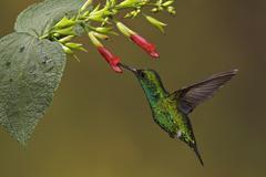 A Western Emerald Hummingbird (Chlorostilbon melanorhyncus) flying and feeding Kuvituskuvat