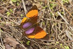 A butterfly in the Milpe reserve in northwest Ecuador. Stock Photos