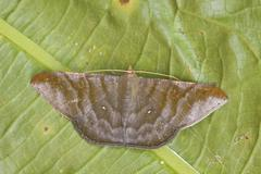 A moth on a leaf in the Tandayapa Valley of Ecuador. Stock Photos