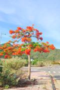 Tropical poinciana red flower tree on the road Stock Photos