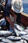 A bumper catch of tuna fish Stock Photos