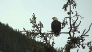 Bald Eagle Alaska Pan Left Stock Footage