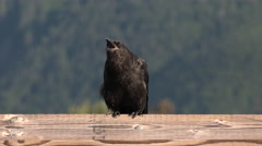 Crow Raven Black Bird Squacking Stock Footage
