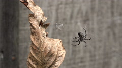Large Spider Moving About In It's Web With Autumn Golden Leaf Stock Footage
