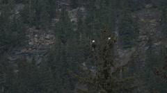 Pair Bald Eagles Mountain Tilt Down Stock Footage