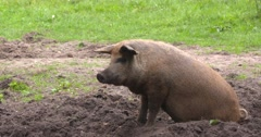 Free-range Red Mangalitsa pig lies down in mud Stock Footage