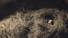 Two small birds eggs in a large straw nest Stock Footage