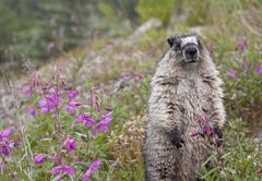 Marmot with Flowers Stock Photos