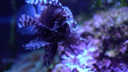 Pterois radiata Stock Footage