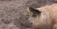 Red Mangalitsa or wooly pig asleep in mud - close up Stock Footage
