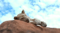 Young White Lion on Rock Stock Footage