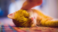 Tabby cat pet petting kitty Stock Footage