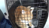 Cat in carrier tabby orange animal shelter Stock Footage