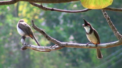 The bird Red-whiskered Bulbul on the tree Stock Footage