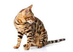 Bengal cat on white background sits sideways looks aside Stock Photos